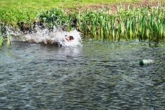 Teal, young pup water bound for dummy